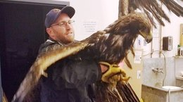 Injured golden eagle recovering at Colorado raptor center